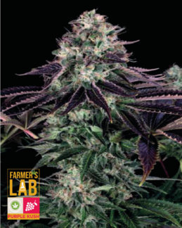 Purple Kush Seeds : Farmers Lab Seeds