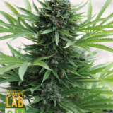 buy cannabis seeds online