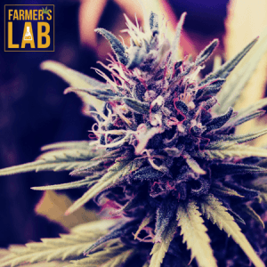 Cannabis Seeds Shipped Directly to Your Door in Abilene, KS. Farmers Lab Seeds is your #1 supplier to growing Cannabis in Abilene, Kansas.