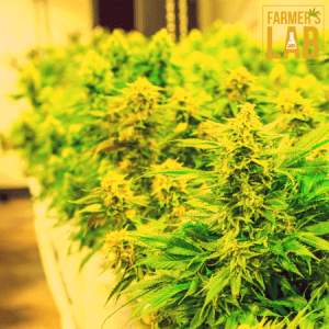 Cannabis Seeds Shipped Directly to Your Door in Brooks, AB. Farmers Lab Seeds is your #1 supplier to growing Cannabis in Brooks, Alberta.