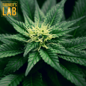 Cannabis Seeds Shipped Directly to Your Door in Lacombe, AB. Farmers Lab Seeds is your #1 supplier to growing Cannabis in Lacombe, Alberta.