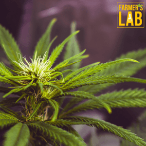Cannabis Seeds Shipped Directly to Your Door. Farmers Lab Seeds is your #1 supplier to growing Cannabis in Wisconsin.
