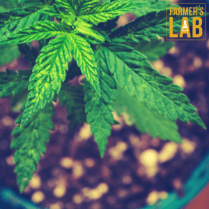 Marijuana Seeds Shipped Directly to Amqui, QC. Farmers Lab Seeds is your #1 supplier to growing Marijuana in Amqui, Quebec.