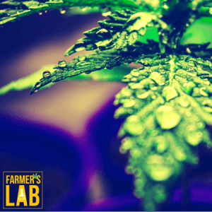 Marijuana Seeds Shipped Directly to Asbestos, QC. Farmers Lab Seeds is your #1 supplier to growing Marijuana in Asbestos, Quebec.