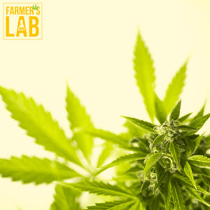 Marijuana Seeds Shipped Directly to Burke Centre, VA. Farmers Lab Seeds is your #1 supplier to growing Marijuana in Burke Centre, Virginia.