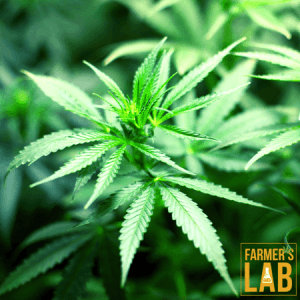 Marijuana Seeds Shipped Directly to Causapscal, QC. Farmers Lab Seeds is your #1 supplier to growing Marijuana in Causapscal, Quebec.