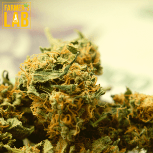 Marijuana Seeds Shipped Directly to Your Door. Farmers Lab Seeds is your #1 supplier to growing Marijuana in Quebec.