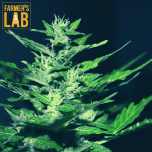 Marijuana Seeds Shipped Directly to Salaberry-de-Valleyfield, QC. Farmers Lab Seeds is your #1 supplier to growing Marijuana in Salaberry-de-Valleyfield, Quebec.