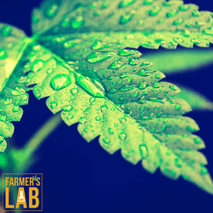 Marijuana Seeds Shipped Directly to Your Door. Farmers Lab Seeds is your #1 supplier to growing Marijuana in South Dakota.