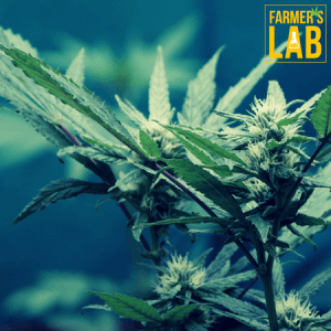 Weed Seeds Shipped Directly to Barretts, GA. Farmers Lab Seeds is your #1 supplier to growing weed in Barretts, Georgia.