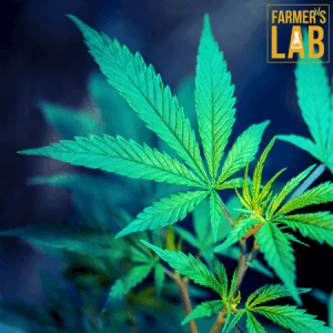 Weed Seeds Shipped Directly to Candiac, QC. Farmers Lab Seeds is your #1 supplier to growing weed in Candiac, Quebec.