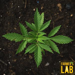 Weed Seeds Shipped Directly to Clinton, MS. Farmers Lab Seeds is your #1 supplier to growing weed in Clinton, Mississippi.