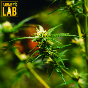Weed Seeds Shipped Directly to Garden City, KS. Farmers Lab Seeds is your #1 supplier to growing weed in Garden City, Kansas.