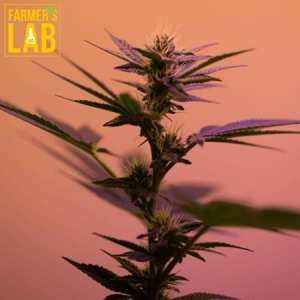 Weed Seeds Shipped Directly to Salina, KS. Farmers Lab Seeds is your #1 supplier to growing weed in Salina, Kansas.