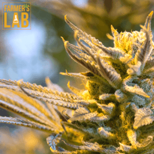 Weed Seeds Shipped Directly to Toronto, ON. Farmers Lab Seeds is your #1 supplier to growing weed in Toronto, Ontario.