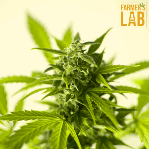Weed Seeds Shipped Directly to Wichita, KS. Farmers Lab Seeds is your #1 supplier to growing weed in Wichita, Kansas.